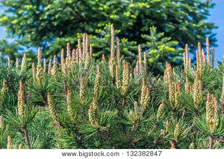 Young shoots on a beautiful conifer coniferous tree.  This photo was taken in the park, which is located in the village Petrivtsi near Kiev.