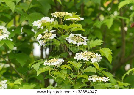 The flowers of viburnum.   In the second half of May in Ukraine massively blooming viburnum shrubs.