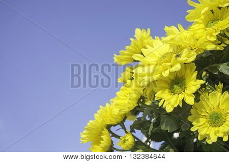 Yellow flower beautiful chrysanthemums bloom in winter and sky