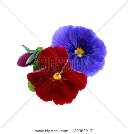 viola flowers isolated on a white background