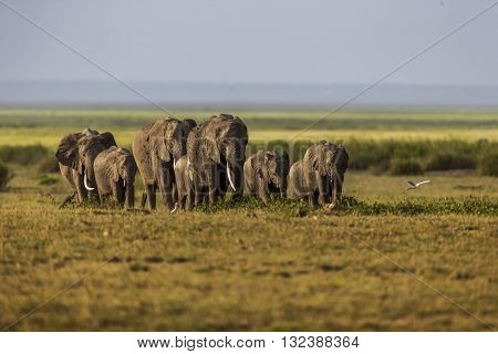 An elephant family is walking in a single line. An elephant family is walking in a single line. It's a front view. They are walking on the green and yellow grass. The photo had been taken in Amboseli plains Kenya. White birds are around.