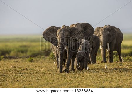 An elephant family is walking in Amboseli plain. An elephant family is walking. The photo had been taken in in Amboseli Kenya. It's a daytime. Entire body of two adults can seen clearly with their tusk. Some of babies can seen also.