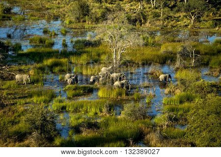 An elephant family is walking in the water. A group of elephant walking at Okavango Delta. Some of them are infant and others are adult. Aerial photography. It's day time. Elephants walking in water and plants that colour brown and yellow grass. The blue