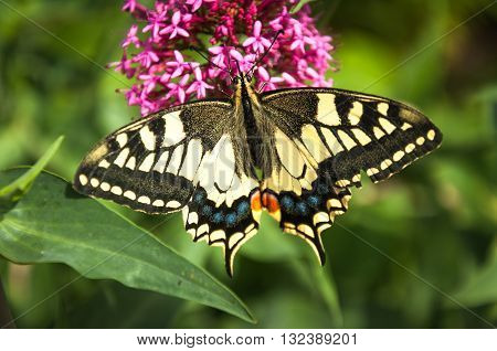 The Old World swallowtail (Papilio machaon) is a butterfly of the family Papilionidae