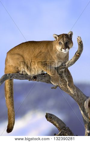 Mountain lion is sitting on deadwood and looking camera. The adult male mountain lion is sitting on the dead wood. He is looking to camera. He has green eyes. The mountain lion in the middle of the frame.