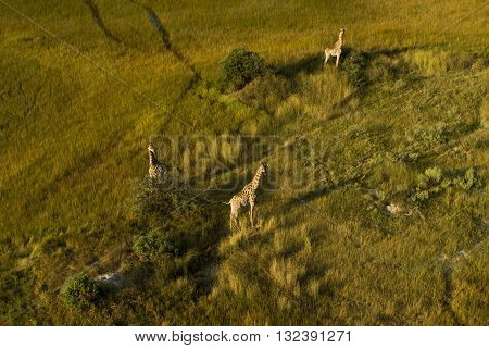 Small group of gireffes standingThree giraffes standingThree giraffes can seen while standing with aerial view. Three giraffes standing separately shape look like triangle. The photo had been taken at Okavango Delta Botswana. It's an aerial photography.