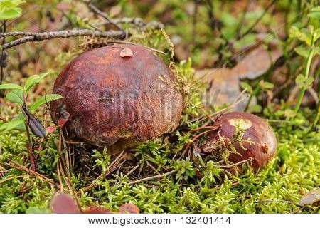 cep growing in the forest close up (Boletus edulis f. pinicola)