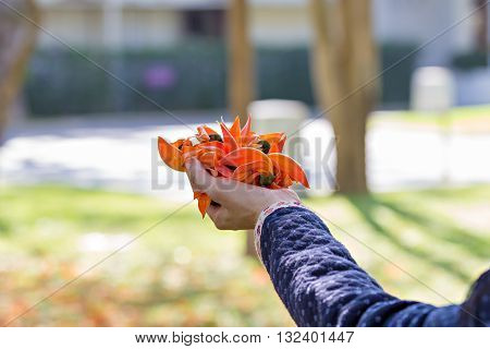 Bastard Teak or Flame of the Forest's flowers on woman's hand
