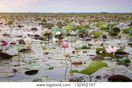 Lake of red lotus at Udonthani Thailand (unseen in Thailand), stock photo