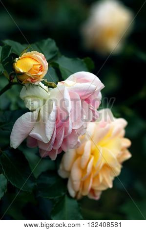 Pink and peach roses in the garden