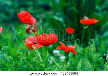 Bright red poppies blossomed among the green grass