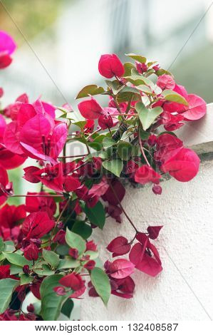 The branch of bright pink bougainvillea flowers
