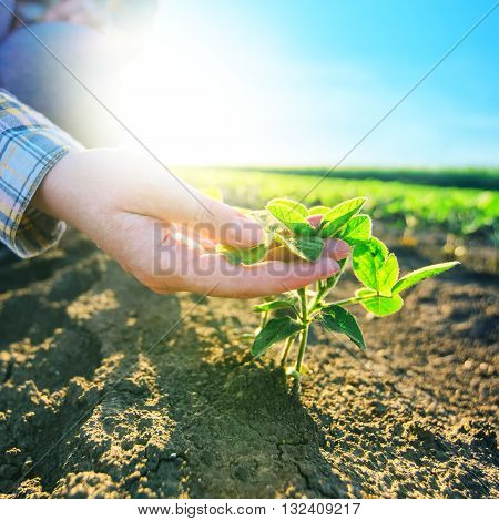 Female farmer's hands in soybean field responsible farming and dedicated agricultural crop protection soy bean plants growth control selective focus.