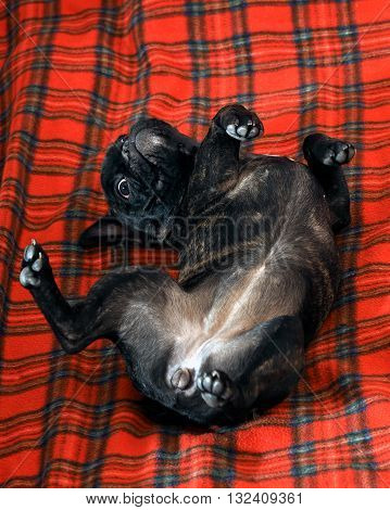 Funny dog lying on the bed. Dog black French bulldog. Dog lying on his back, lifting his paws. Red plaid. Dog happy
