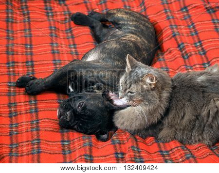 Dog and cat lying together on the bed. Dog black French bulldog. Cat fluffy gray. Relationship cats and dogs. Red plaid.