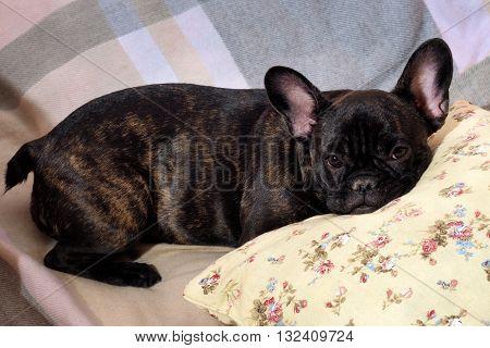 Dog lying on the bed, on the pillow. Dog sleeping, sleeps