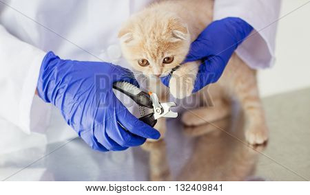 medicine, pet, animals, grooming and people concept - close up of veterinarian doctor with clipper cutting scottish fold kitten nail at vet clinic