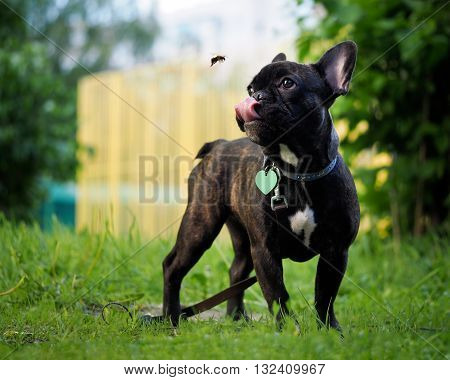 Funny dog catches Bumblebee language. Dog black French bulldog. Bumblebee flies. Summer, city, green grass. Dog collar, leash. Language pink