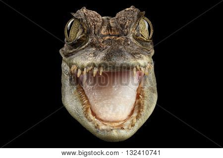 Closeup Head of Young Cayman Crocodile Reptile with opened mouth Isolated on Black Background Front view