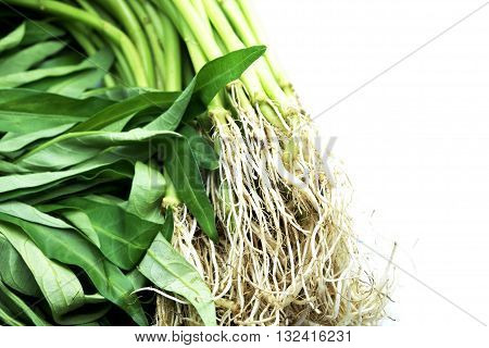 Water spinach/Morning Glory on white background. Focus on roots, defocus on leaves. Space for texts.
