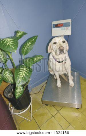 Labrador On A Scale