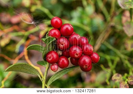 bush of ripe cranberries closeup in early autumn