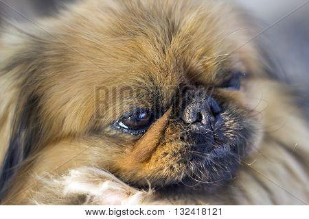 Old Pekingese dog looking at world with aged eyes.