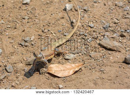 Butterfly Lizard