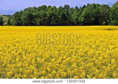 Large yellow rapeseed or canola field with green forest as a backgorund