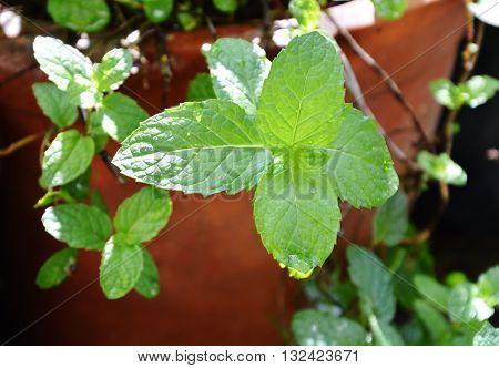 peppermint in flowerpot on the backyard garden
