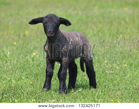 Black suffolk lamb on a spring meadow