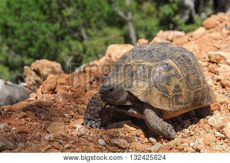 Large tortoise on the brown ground. Turkey