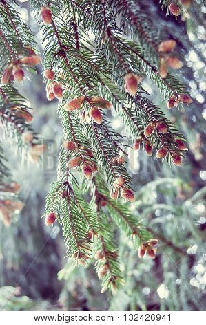 natural background fir tree blossoms red cones close-up
