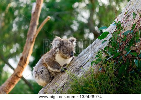 Wild koala bear climbing up a tree in australian outback