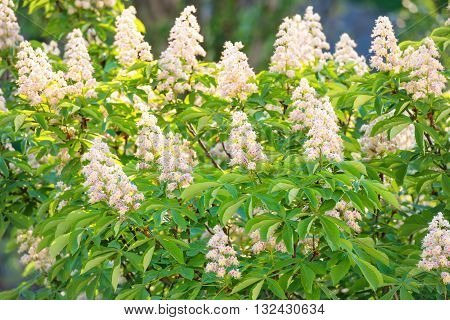 Blossom Chestnut Tree In Flowers