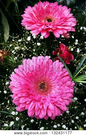 Two large bright pink gerbera flower and gypsophila