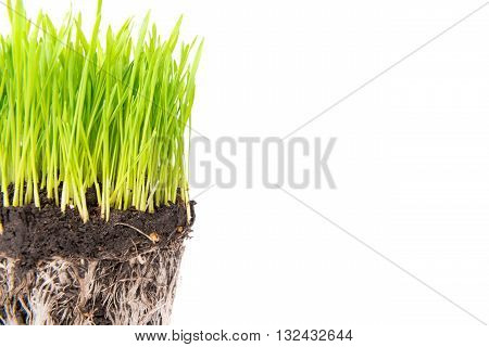 Green grass and soil from a pot with plant roots isolated on white background. Macro shot with copyspace