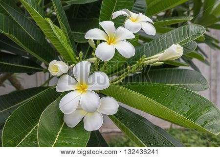 Beautiful Sweet White And Yellow Flower Plumeria Bunch In Home Garden With  Happy Morning Mood And R