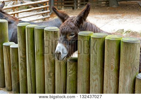 Donkey behind a wooden fence on the farm