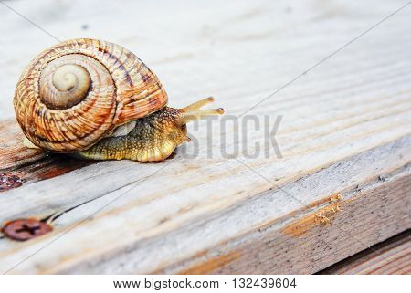 Snail gliding on wood a rainy day. Very short depth of focus. Latin name: Arianta arbustorum