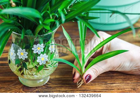 Woman's hand holding young green Spider Plant with roots, prepare for plant on ground. Potting Plant. Ecology World Environment Day Food Preserve Sustainable Development Wisdom Spring concept