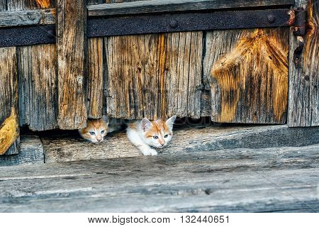 Red and white small kittens looking with curiosity out of doors of old wooden hut in a countryside.Cats family. Beautiful kittens with blue eyes playing on the farm. Rustic style. Selective focus.