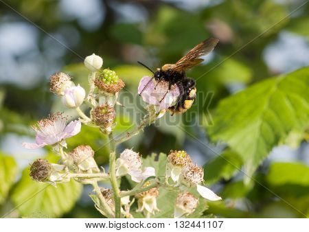 Giant wasp on a flower blackberry (Scolia maculata)