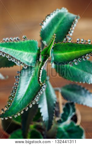 Close up of Kalanchoe pinnata plant. Bryophyllum daigremontianum, also called Mother of Thousands, Alligator Plant, or Mexican Hat Plant (Kalanchoe daigremontiana). Medicinal plant.