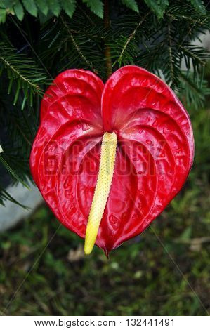 Flower bright red anthurium with yellow stamen
