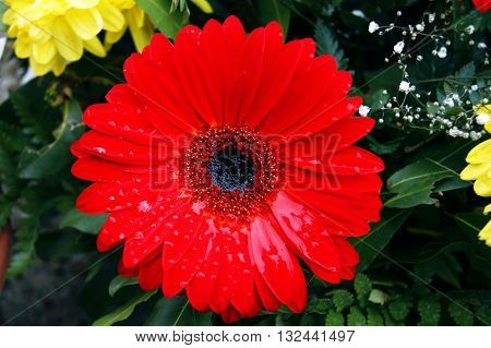 Big red gerbera with drops of water after rain