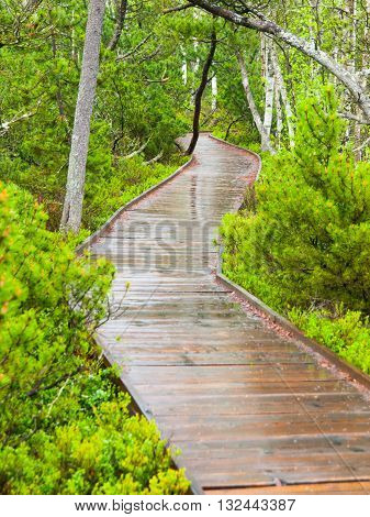 Narrow wooden path in the birch forest. Planks are wet and shiny after rain. Chalupska moor in Sumava National Park, Czech Republic