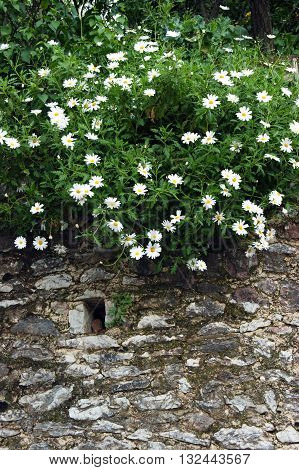 Bush daisies growing on a stone wall