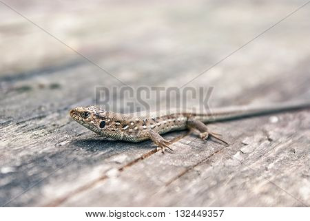 Green and brown lizard (Lacerta viridis, Lacerta agilis) is a species of lizard of the genus Green lizards. Lizard on the wooden backdround.