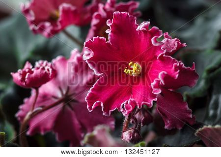 African violet (red saintpaulia ionantha) houseplant closeup.